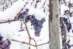 Isvin Röda druvor för vin för isvin i vintervillkor och snö royaltyfria foton