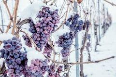 Isvin Röda druvor för vin för isvin i vintervillkor och snö royaltyfri bild