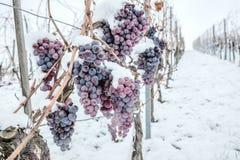 Isvin Röda druvor för vin för isvin i vintervillkor och snö arkivfoton