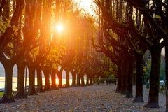 Itália, Angera Avenida maravilhosa para andar, grandes árvores do outono com folhas amarelas Silhuetas das árvores nos raios do a Foto de Stock