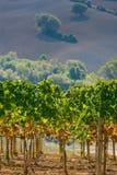 Itália, Toscânia, vale de Bolgheri, vinhedo, uva para vinho Fotos de Stock Royalty Free