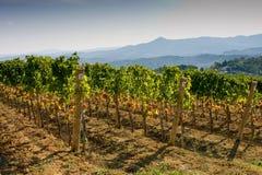 Itália, Toscânia, vale de Bolgheri, vinhedo, uva para vinho Fotos de Stock