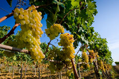 Itália, Toscânia, vale de Bolgheri, vinhedo, uva para vinho Foto de Stock Royalty Free