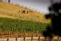 Itália, Toscânia, vale de Bolgheri, vinhedo, uva para vinho Fotografia de Stock Royalty Free