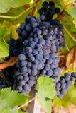 Itália, Toscânia, vale de Bolgheri, vinhedo, uva para vinho Imagem de Stock Royalty Free