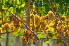 Itália, Toscânia, vale de Bolgheri, vinhedo, uva para vinho Imagens de Stock