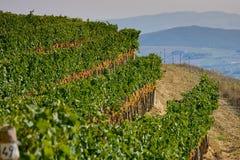 Itália, Toscânia, vale de Bolgheri, vinhedo, uva para vinho Imagens de Stock Royalty Free