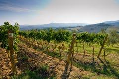 Itália, Toscânia, vale de Bolgheri, vinhedo, uva para vinho Imagem de Stock