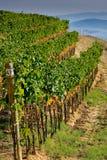 Itália, Toscânia, vale de Bolgheri, vinhedo, uva para vinho Fotografia de Stock