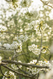 It's simply beautiful - cherry tree in blossom Stock Photography
