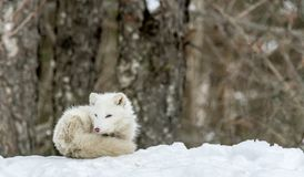 Free It`s Nap Time For This Arctic Fox In Seasonal Moulting Royalty Free Stock Photography - 136329727