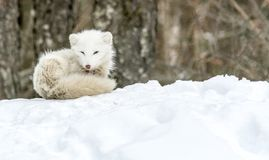 Free It`s Nap Time For This Arctic Fox In Seasonal Moulting Royalty Free Stock Photos - 136329798