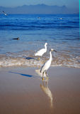 Itaipu beach and the seagulls. In Niteroi, Brazil stock photography