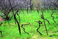 Italië, de wijngaard in de vroege lente Stock Foto's