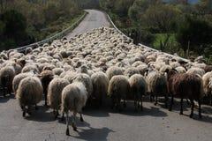 Italië Schapen Stock Fotografie