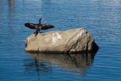 Italië-Cormoran in de haven van Lacco Ameno Royalty-vrije Stock Foto