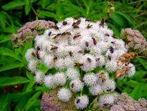Italia, Lombardía, Foppolo, flor blanca cubierta con los insectos Imagen de archivo libre de regalías