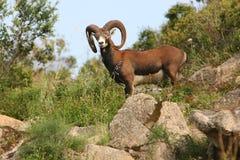 Italia Sardegna, mouflon del Gallura imagenes de archivo