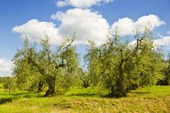 Italia Toscana Plantaciones verdes olivas Imagenes de archivo