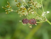 Italiaans gestreept-Insect Stock Afbeelding