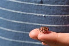 Italiaans gestreept insect Stock Afbeelding