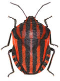 Italiaans gestreept-Insect op witte Achtergrond Stock Foto
