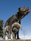 Italiaans mastiffmoeder en puppy stock fotografie