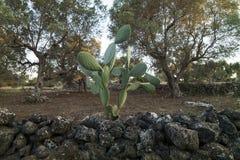 Italiaans platteland met olijfbomen en droge steenstenen - Salento - Italië Stock Fotografie