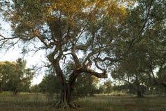 Italiaans platteland met olijfbomen en droge steenstenen - Salento - Italië Royalty-vrije Stock Foto