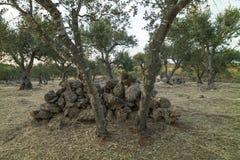 Italiaans platteland met olijfbomen en droge steenstenen - Salento - Italië Royalty-vrije Stock Fotografie