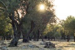 Italiaans platteland met olijfbomen en droge steenstenen - Salento - Italië Stock Afbeelding