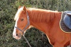 Italiaanse Binnenlandse paarden Stock Foto's
