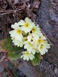 Italiaanse de lentebloemen op de Alpen royalty-vrije stock afbeelding