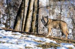 Italiaanse de wolfszweeritalicus van wolfscanis Stock Foto