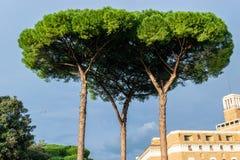 Italiaanse die Steenpijnbomen Pinus pinea ook als Paraplupijnbomen en Parasolpijnbomen wordt bekend stock foto