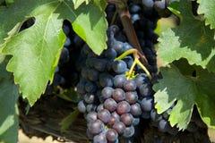 Italiaanse Druiven die op Wijnstokken in Italië hangen Stock Fotografie