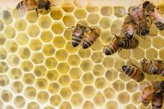 Italiaanse honingbijen constuct kam stock foto