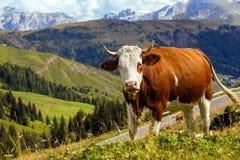 Italiaanse koeien op een weiland 2 Stock Fotografie