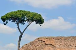 Italiaanse Pijnboom Royalty-vrije Stock Foto's