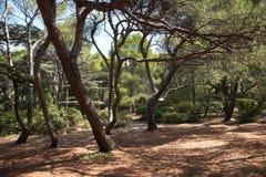 Italiaanse steenpijnboom (Pinus pinea L.), Foros-park, de Krim royalty-vrije stock foto
