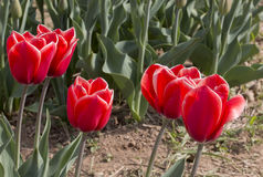 Italiaanse tulpen Stock Afbeeldingen