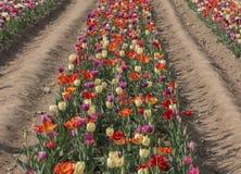 Italiaanse tulpen Stock Afbeelding