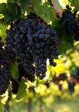 Italiaanse wijndruiven Royalty-vrije Stock Fotografie