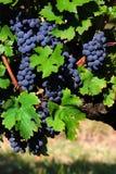 Italiaanse Wijngaard Stock Foto's