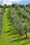 Italiaanse Wijngaard Stock Foto