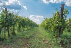 Italiaanse wijngaard Stock Fotografie