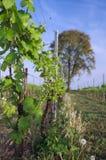 Italiaanse wijngaard in de vroege lente, Italië, Friuli Royalty-vrije Stock Fotografie