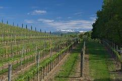 Italiaanse wijngaard in de vroege lente, Italië, Friuli Royalty-vrije Stock Afbeeldingen