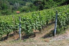 Italiaanse wijngaard in Piemonte Royalty-vrije Stock Afbeelding