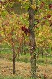 Italiaanse wijngaarden Stock Afbeelding
